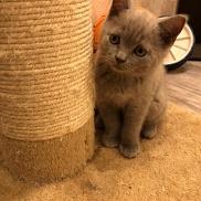 Продаются шотландские вислоухие котята от Оксаны Почепа